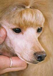 Federacion Cinológica internacional American Kennel Club